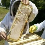 honey-bee-643878_1920