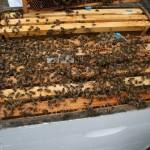 honey-bee-896701_1920
